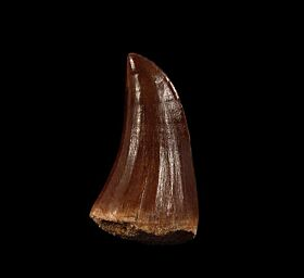 Extra Large Mosasaurus beaugei tooth for sale | Buried Treasure Fossils