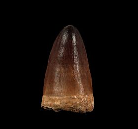 Real Prognathodon anceps tooth for sale | Buried Treasure Fossils
