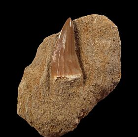 Real Mosasaurus beaugei  tooth for sale | Buried Treasure Fossils