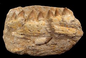 Prognathodon anceps  (Mosasaurus) tooth | Buried Treasure Fossils