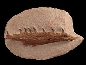 Tethysaurus jaw for sale | Buried Treasure Fossils
