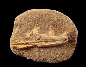 Eremiasaurus heterodontontus jaw section for sale | Buried Treasure Fossils