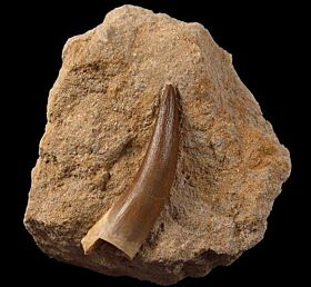 Large Plesiosaurus tooth for sale | Buried Treasure Fossils