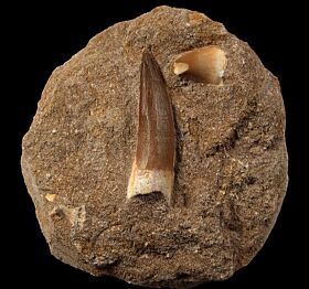 Extra Large Moroccan Plesiosaur tooth| Buried Treasure Fossils