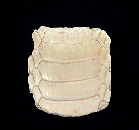 Myliobatus dixoni