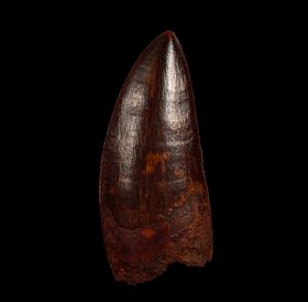 Huge Carcharodontosaurus saharicus  tooth for sale | Buried Treasure Fossils