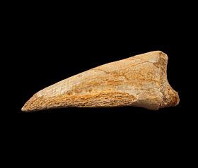 Carcharodontosaurus claw for sale | Buried Treasure Fossils