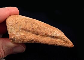 Rare Carcharodontosaurus pes claw for sale | Buried Treasure Fossils