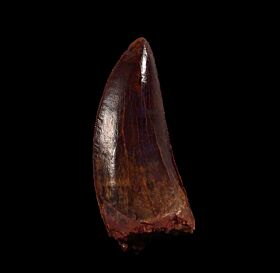Ultra rare Carcharodontosaurus dinosaur tooth from Morocco | Buried Treasure Fossils