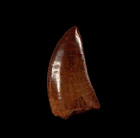 Moroccan Carcharodontosaurus tooth for sale | Buried Treasure Fossils
