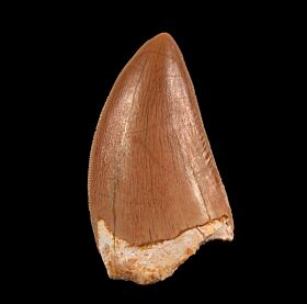 Top quality Carcharodontosaurus tooth from Morocco for sale | Buried Treasure Fossils