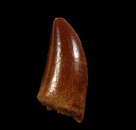 Real Moroccan dinosaur tooth for sale | Buried Treasure Fossils