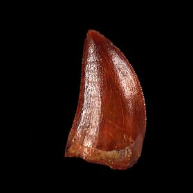 Real Cretaceous dinosaur tooth for sale | Buried Treasure Fossils