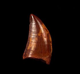 Cretaceous theropod dinosaur tooth for sale | Buried Treasure Fossil