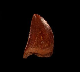 Red Carcharodontosaurus dinosaur tooth for sale | Buried Treasure Fossils