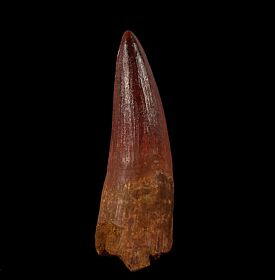 Red Spinosaurus tooth for sale | Buried Treasure Fossils