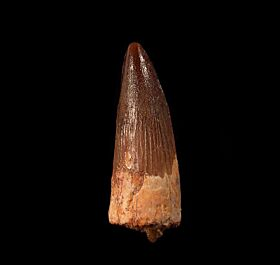 Spinosaurus tooth for sale from Morocco | Buried Treasure Fossils