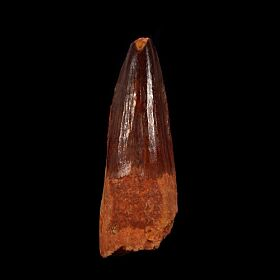 Moroccan Spinosaurus tooth for sale | Buried Treasure Fossils