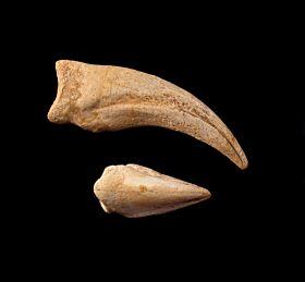 Rare Kem-Kem Spinosaurus hand claw for sale | Buried Treasure Fossils