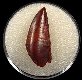 Extra large Abelisaurid tooth for sale | Buried Treasure Fossils