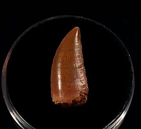 Moroccan dinosaur tooth for sale | Buried Treasure Fossils