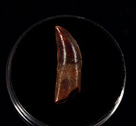 Top quality Abelisaurid tooth for sale | Buried Treasure Fossils