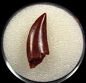 Kem Kem Abelisauridae tooth for sale | Buried Treasure Fossils