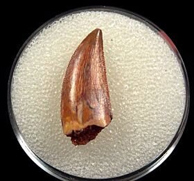 Moroccan Abelisauridae tooth for sale | Buried Treasure Fossils