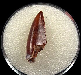 Moroccan Abelisaurid tooth for sale | Buried Treasure Fossils