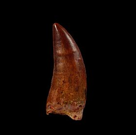 Deltadromeus dinosaur tooth for sale | Buried Treasure Fossils