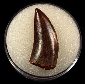 Huge Abelisaurid tooth for sale | Buried Treasure Fossils