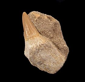 Rooted Platecarpus tooth for sale | Buried Treasure Fossils