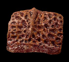 KemKem Crocodile scute for sale | Buried Treasure Fossils