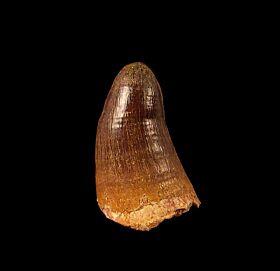 HUGE Crocodilus tooth for sale - Morocco | Buried Treasure Fossils