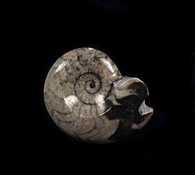 Goniatities sp.  ,  an early Ammonite relative
