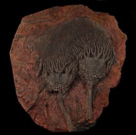 Large Moroccan crinoid for sale | Buried Treasure Fossils