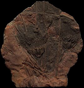 Rare Scyphocrinites crinoid holdfast for sale | Buried Treasure Fossils