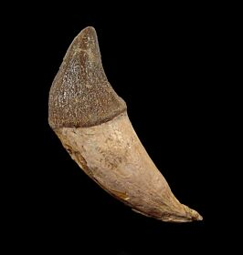 Rare Pappocetus lugardi tooth for sale | Buried Treasure Fossils