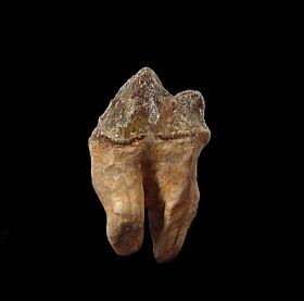 Rare Protocetid whale tooth for sale | Buried Treasure Fossils