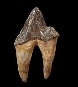 Rare Protocetid whale molar for sale | Buried Treasure Fos