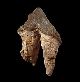 Rare Basilosaurus ancestor tooth for sale | Buried Treasure Fossils