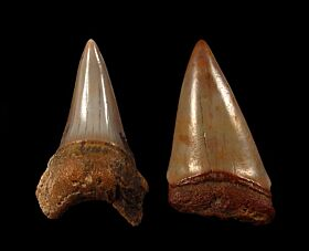 Quality Dakhla Cosmopolitodus hastalis tooth for sale | Buried Treasure Fossils