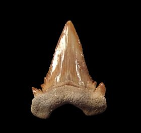 Big transitional Paleocarcharodon shark tooth for sale | Buried Treasure Fossils