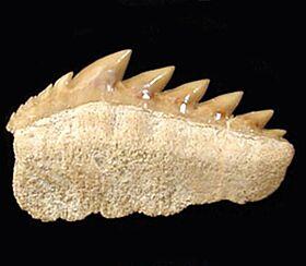 Notidanodon loozi