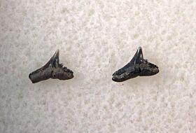 Galeorhinus ypresiensis