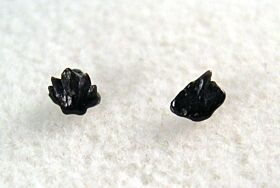 Ginglymostoma maroccanum