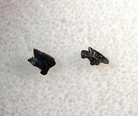 Megasqualus orpiensis