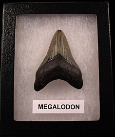 My First Megalodon tooth for sale | Buried Treasure Fossils