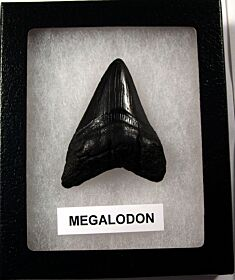Gray SC Megalodon shark tooth for sale | Buried Treasure Fossils