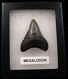 Cheap SC Megalodon shark tooth for sale | Buried Treasure Fossils